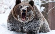 У Румунії впіймали ведмедя, який лякав туристів у горах