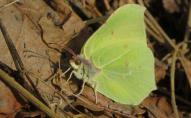 На Волині у нацпарку з'явилися перші весняні метелики. ФОТО