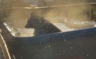 Ведмідь вирішив поніжитись у джакузі: господарю залишалось лише знімати. ВІДЕО
