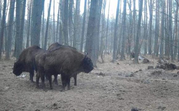 Камери спостереження зняли у волинському лісі сімейство зубрів. ФОТО. ВІДЕО