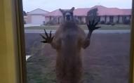 Агресивний кенгуру атакував будинок. ВІДЕО