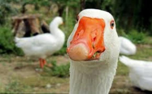 На Волині у господині злочинці викрали 5 вгодованих гусей