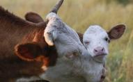 В Україні на кожні десять сільських садиб приходиться 2 корови