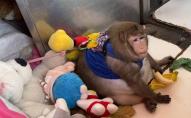 Товсту мавпу з ринку довелося лікувати від ожиріння. ФОТО