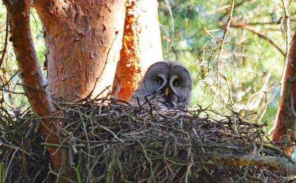 У Чорнобилі рідкісний птах атакує дослідників. ФОТО