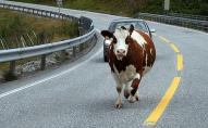 У Ковелі на дорозі з причепа випала корова. ФОТО