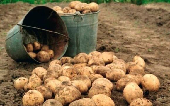 Через небезпечну хворобу картоплі на Волині запровадили карантин, їсти її категорично не можна. ФОТО - volynfeed.com