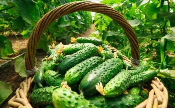 Через дощі в Україні підніметься ціна на огірки