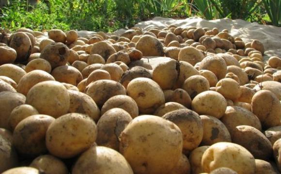 Небезпечна картопля на Волині: фермер мусить знищити весь свій урожай. ВІДЕО