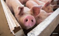 В Україні виявили випадки африканської чуми свиней