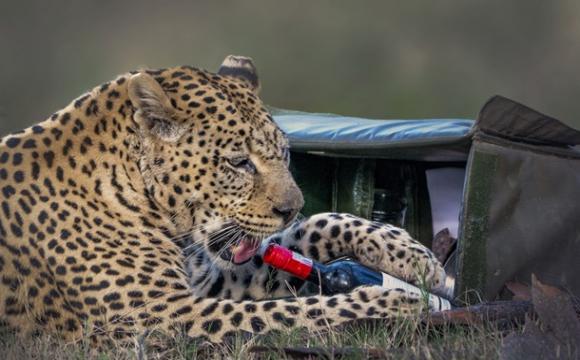 Леопард вкрав у пари, яка відпочивала, пляшку вина і келих. ФОТО