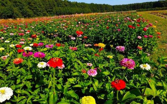 Квиток «Волинської Голландії» можна обміняти на квіткову продукцію
