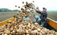 Україна стала найбільшим постачальником картоплі у Білорусь через високі ціни
