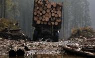 На Волині незаконно вирубали 6 дубів. ФОТО