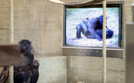За відсутності відвідувачів у зоопарку шимпанзе «підсадили» на телевізор
