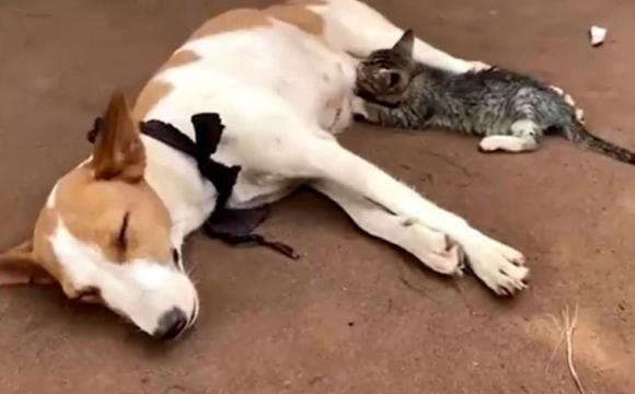 У Нігерії собака нагодувала молоком кошеня. ВІДЕО