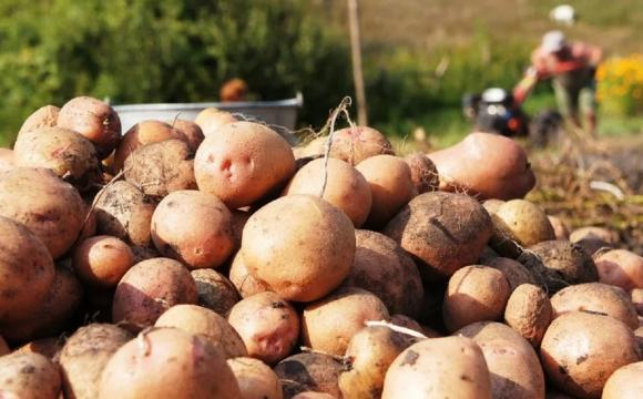 «Я б краще її переорав»: волиняни обурюються ціною на картоплю