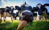 Ображений ексдепутат після виключення з партії викрав стадо корів