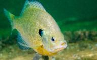 «Риби наркомани»: залежність від наркотиків, які потрапляють у воду