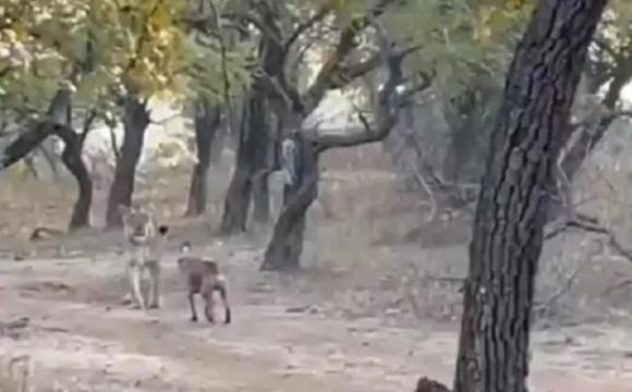 В Індії дворняга повоював з левицею