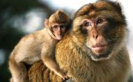 У США бракує мавп для випробування вакцин від COVID