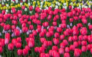 У центрі Києва висадять 100 тисяч тюльпанів