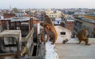 НП в Індії: мавпи викрали і вбили немовля