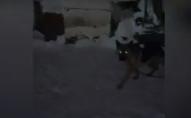 Пускає вівчарок на жир та харчі: волинянина підозрюють в знущанні над тваринами. ФОТО. ВІДЕО
