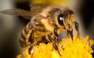 Реальна судова справа: бджіл з Швейцарії звинувачують у контрабанді пилку з Австрії