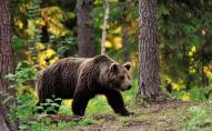 На Волині у лісі виявили великого ведмедя