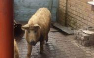 У Лищі розшукували господарів свиней-втікачів. ФОТО