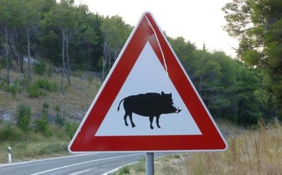 На Волині п'яний водій на смерть збив дику свиню