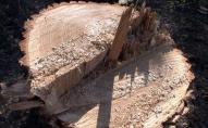 Двоє волинян нарубали дерев на 145 тисяч, а може й на 5-7 років
