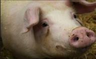 На Ковельщині пенсіонер хотів застрелити в свиню, а попав у односельця