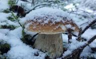 У грудні волиняни знаходять під снігом гриби. ФОТО