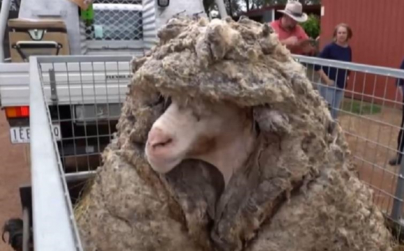 В Австралії з барана зістригли 35 кг вовни