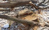 З лісів під Луцьком масово вивозять деревину. ФОТО