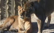 Коронавірус стосується всіх: в Індії на COVID-19 захворіли леви