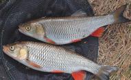 Браконьєри виловили червонокнижної риби на 115 тис. гривень. ВІДЕО