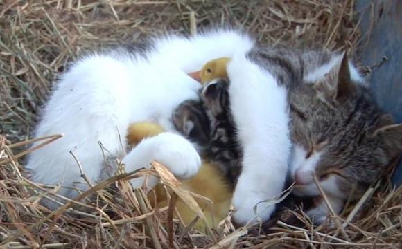 Кішка стала мамою для каченят. ФОТО