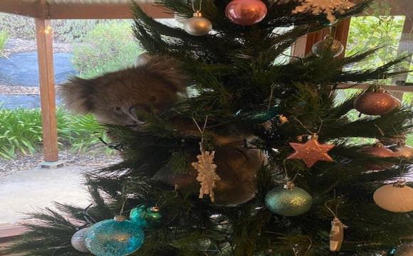 """Коала в Австралії вдерся до будинку, заліз на ялинку і став """"новорічною прикрасою"""". ВІДЕО"""