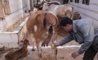 Коронавірус почали лікувати коров'ячими фекаліями. ФОТО