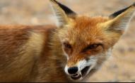 Волинянина покусала скажена лисиця