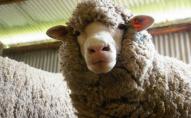 На Одещині міська рада організувала змагання по швидкісному перегону овець