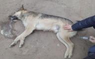 На вулицях волинського міста отруїли собак