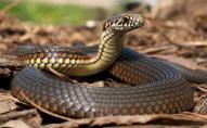 На Говерлі змія вкусила туриста