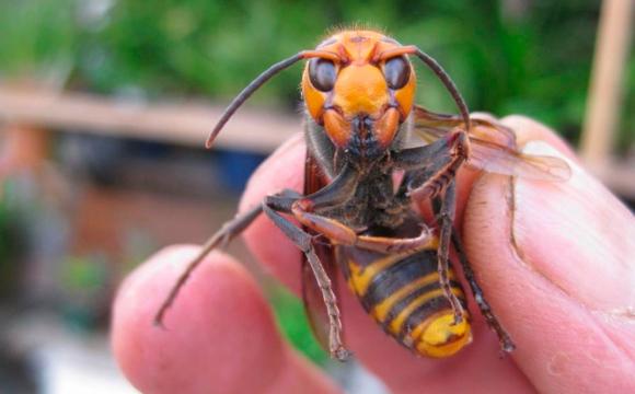 Обережно, шершні: що робити при укусах небезпечних комах