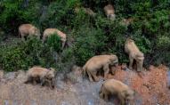 У Китаї стадо слонів подорожує автостопом. ФОТО
