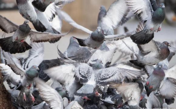 Зграя голубів пограбувала фуру з насінням. ВІДЕО