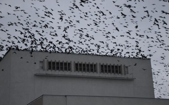 У небі над Луцьком помітили аномально велику зграю ворон. ВІДЕО